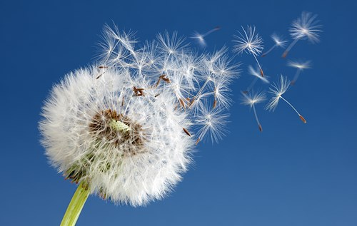 Picture of dandelion in the wind signifying change sweeping through print industry
